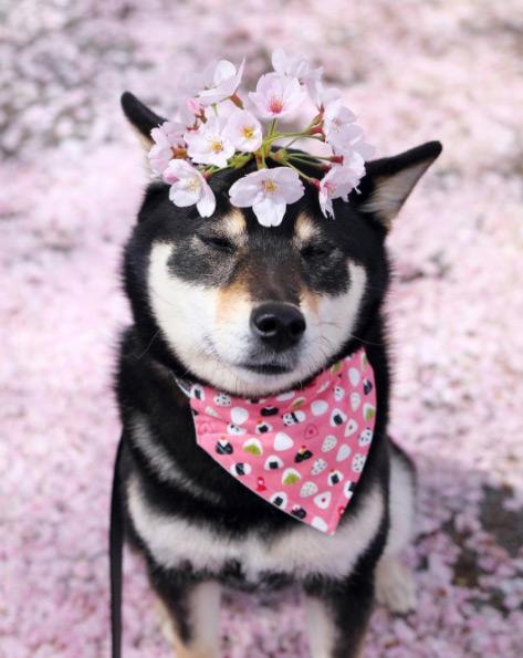 9648miku น้องหมาพันธุ์ชิบะ ดอกซากุระ