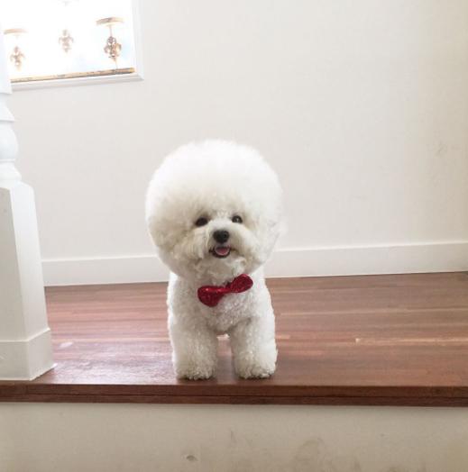 bichon_tori-น้องหมาหัวกลมดิ๊ก