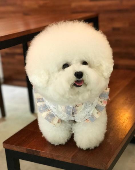 bichon_tori-น้องหมาเกาหลี