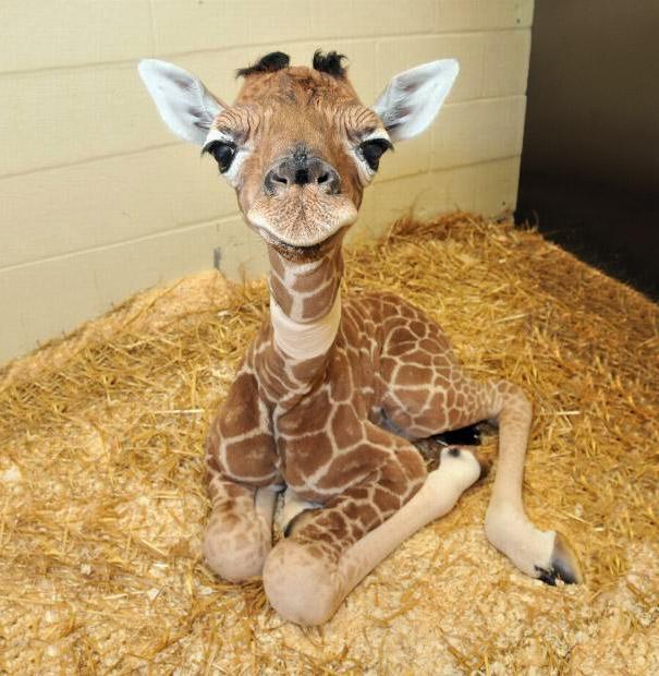 Baby-Giraffes