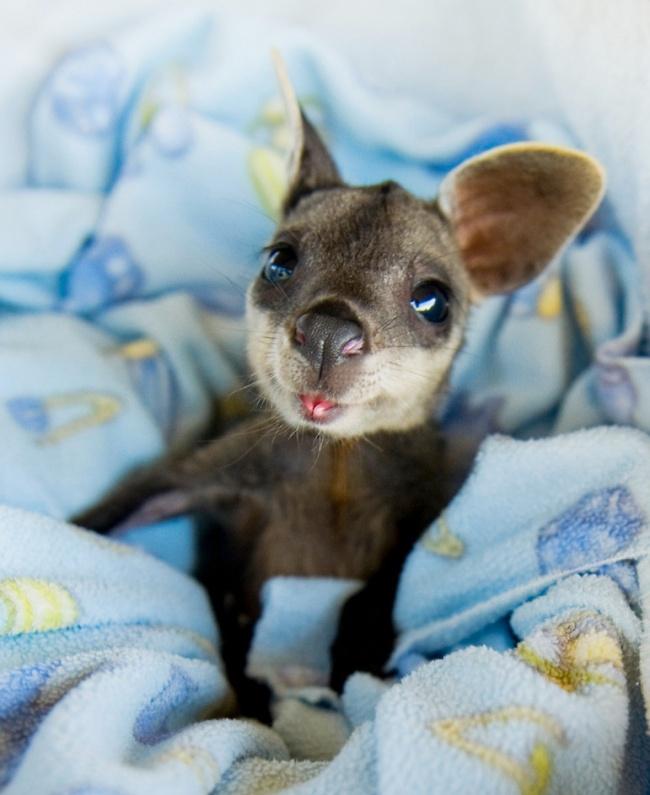 Baby-Kangaroos